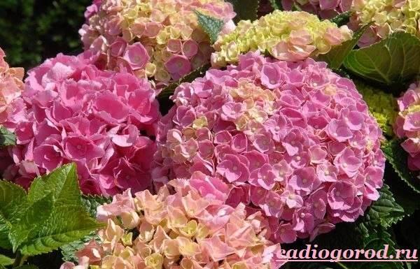 Гортензия-цветок-Выращивание-гортензии-Уход-за-гортензией-2