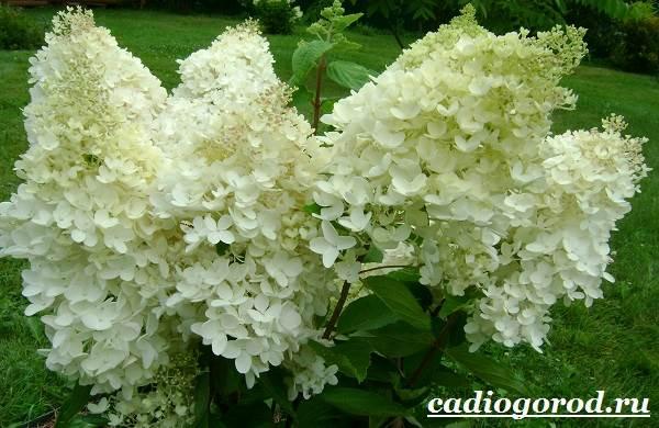 Гортензия-цветок-Выращивание-гортензии-Уход-за-гортензией-5