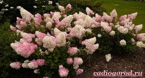 Гортензия-цветок-Выращивание-гортензии-Уход-за-гортензией-8