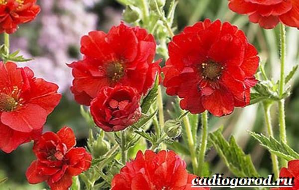 Гравилат-цветок-Описание-особенности-виды-и-уход-за-гравилатом-10
