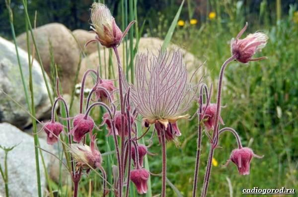 Гравилат-цветок-Описание-особенности-виды-и-уход-за-гравилатом-21
