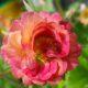 Гравилат цветок. Описание, особенности, виды и уход за гравилатом