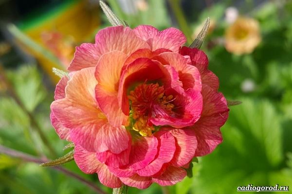 Гравилат-цветок-Описание-особенности-виды-и-уход-за-гравилатом-25