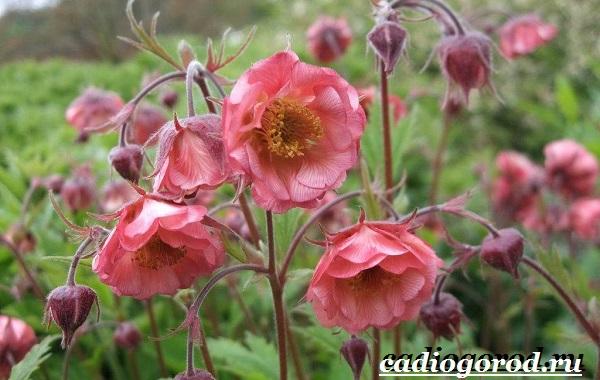 Гравилат-цветок-Описание-особенности-виды-и-уход-за-гравилатом-5