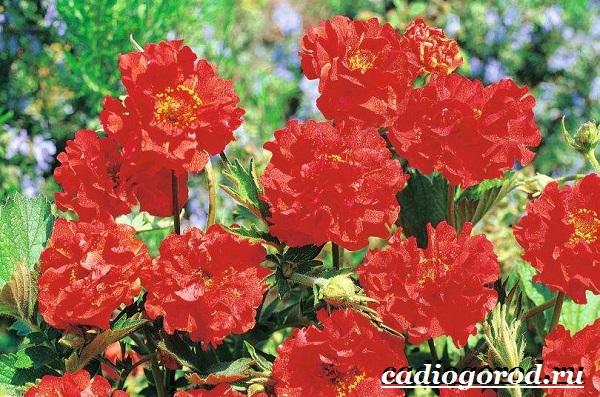Гравилат-цветок-Описание-особенности-виды-и-уход-за-гравилатом-8