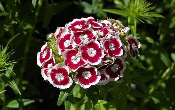 Гвоздика-турецкая-Описание-особенности-выращивание-и-уход-7
