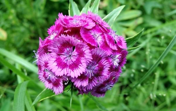 Гвоздика-турецкая-Описание-особенности-выращивание-и-уход-8
