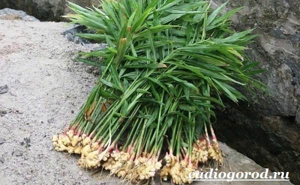Имбирь-растение-Выращивание-имбиря-Уход-за-имбирём-13