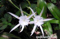 Исмена цветок. Описание, особенности, виды и уход за исменой