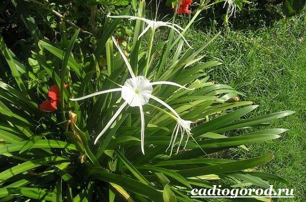 Исмена-цветок-Описание-особенности-виды-и-уход-за-исменой-8