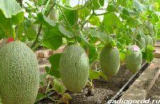 Как вырастить дыню? Выращивание и уход за дыней