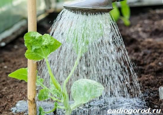 Как-вырастить-дыню-Выращивание-и-уход-за-дыней-6