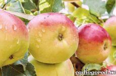 Как вырастить яблоню?