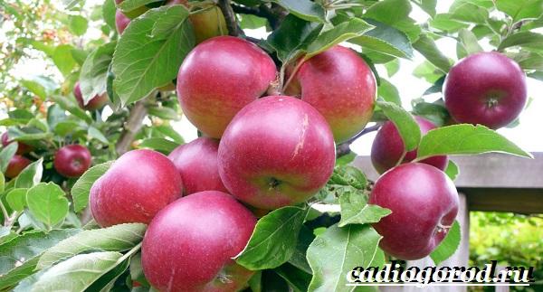 Как-вырастить-яблоню-12