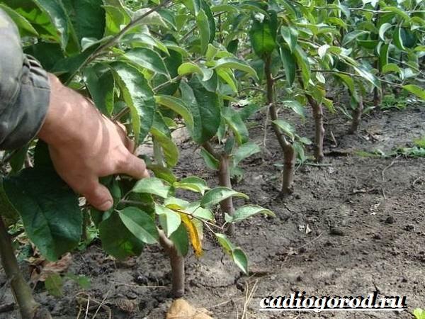 Как-вырастить-яблоню-17