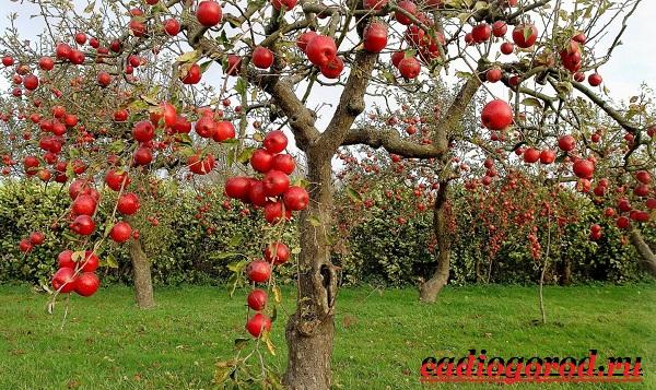 Как-вырастить-яблоню-7