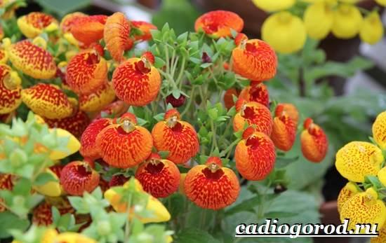 Кальцеолярия-цветок-Выращивание-кальцеолярии-Уход-за-кольцеолярией-21