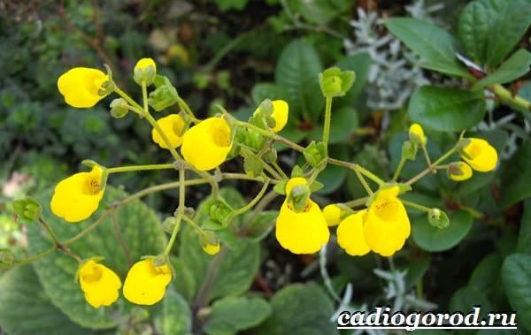 Кальцеолярия-цветок-Выращивание-кальцеолярии-Уход-за-кольцеолярией-29