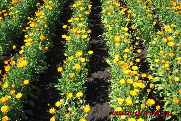 Календула-цветок-Описание-свойства-виды-и-уход-за-календулой-16