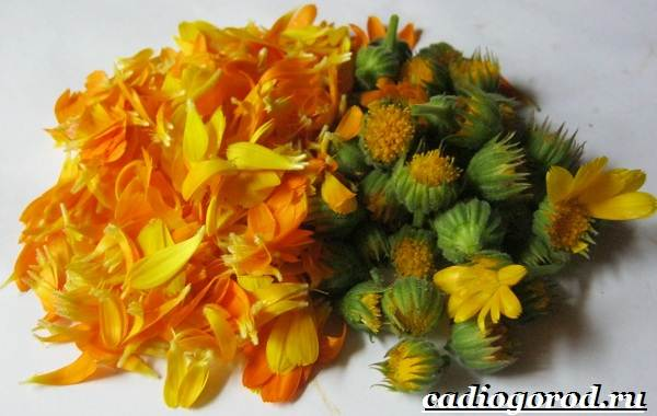 Календула-цветок-Описание-свойства-виды-и-уход-за-календулой-21