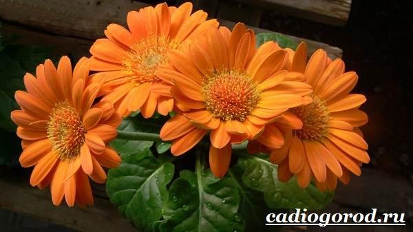 Календула-цветок-Описание-свойства-виды-и-уход-за-календулой-22