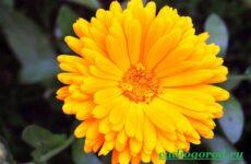 Календула цветок. Описание, свойства, виды и уход за календулой
