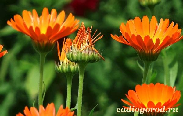 Календула-цветок-Описание-свойства-виды-и-уход-за-календулой-5