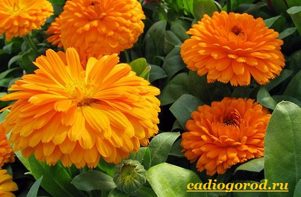 Календула-цветок-Описание-свойства-виды-и-уход-за-календулой-9