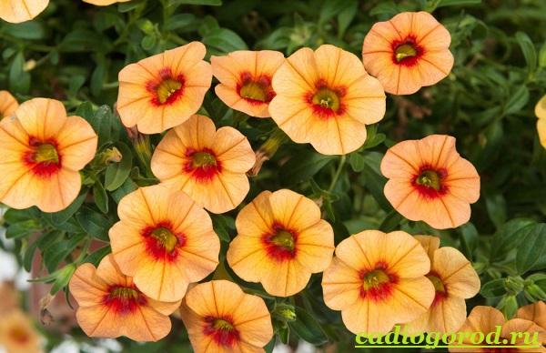 Калибрахоа-цветок-Описание-особенности-виды-и-уход-за-калибрахоа-1