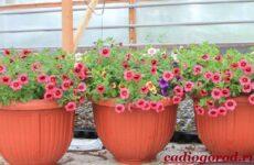 Калибрахоа цветок. Описание, особенности, виды и уход за калибрахоа
