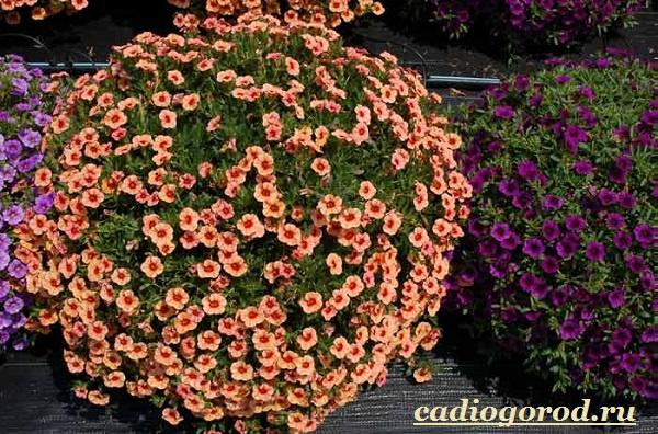 Калибрахоа-цветок-Описание-особенности-виды-и-уход-за-калибрахоа-13
