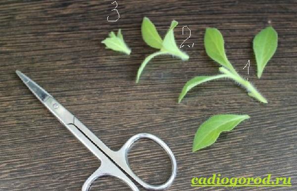 Калибрахоа-цветок-Описание-особенности-виды-и-уход-за-калибрахоа-16