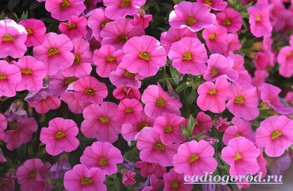 Калибрахоа-цветок-Описание-особенности-виды-и-уход-за-калибрахоа-2