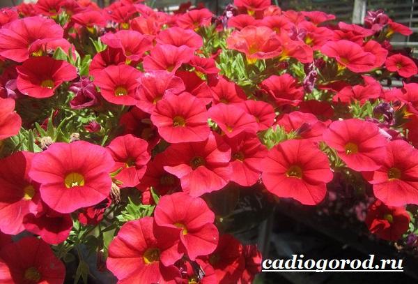 Калибрахоа-цветок-Описание-особенности-виды-и-уход-за-калибрахоа-3