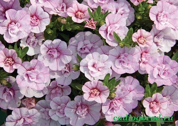 Калибрахоа-цветок-Описание-особенности-виды-и-уход-за-калибрахоа-4