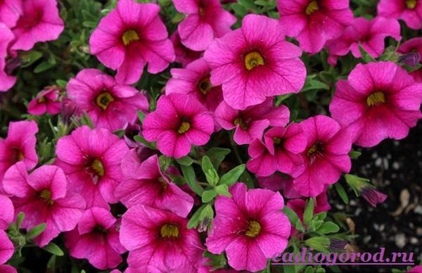 Калибрахоа-цветок-Описание-особенности-виды-и-уход-за-калибрахоа-6
