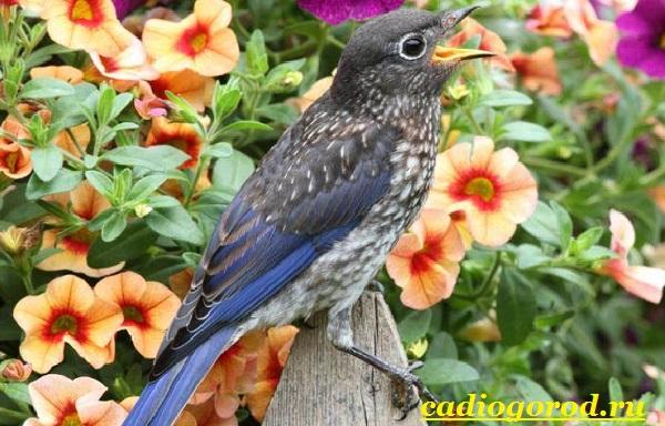 Калибрахоа-цветок-Описание-особенности-виды-и-уход-за-калибрахоа-9