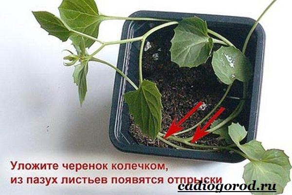 Кампанула-цветок-Описание-особенности-виды-и-уход-за-кампанулой-12