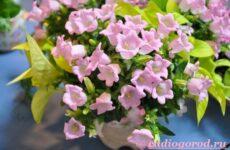 Кампанула цветок. Описание, особенности, виды и уход за кампанулой