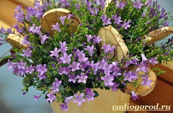 Кампанула-цветок-Описание-особенности-виды-и-уход-за-кампанулой-8