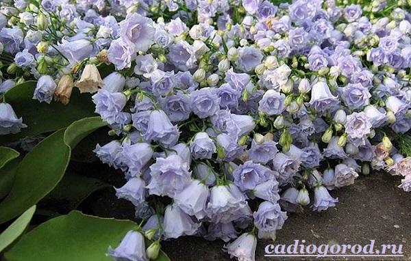 Кампанула-цветок-Описание-особенности-виды-и-уход-за-кампанулой-9
