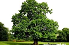 Карагач дерево. Описание, особенности, применение и цена карагача