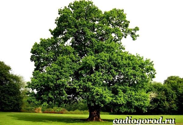 Карагач-дерево-Описание-особенности-применение-и-цена-карагача-11