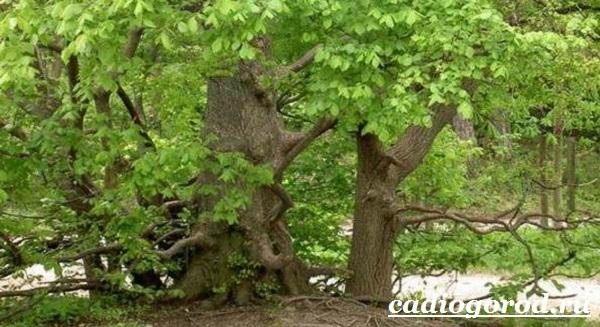 Карагач-дерево-Описание-особенности-применение-и-цена-карагача-13