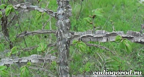 Карагач-дерево-Описание-особенности-применение-и-цена-карагача-2