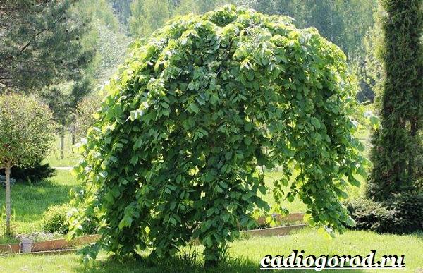Карагач-дерево-Описание-особенности-применение-и-цена-карагача-6