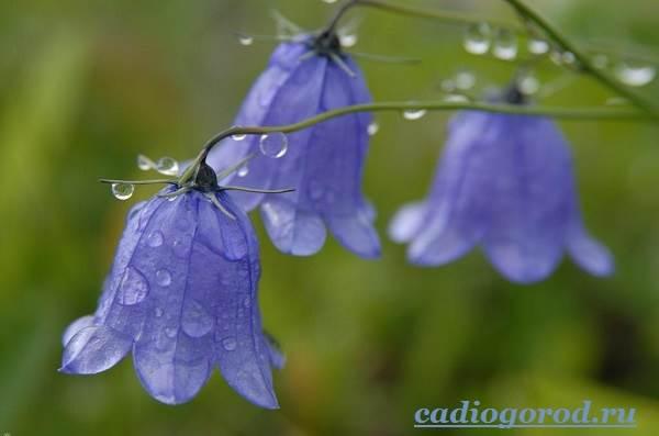 Колокольчики-цветы-Описание-виды-и-выращивание-колокольчиков-1