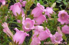 Колокольчики цветы. Описание, виды и выращивание колокольчиков