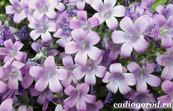 Колокольчики-цветы-Описание-виды-и-выращивание-колокольчиков-20