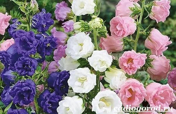 Колокольчики-цветы-Описание-виды-и-выращивание-колокольчиков-23